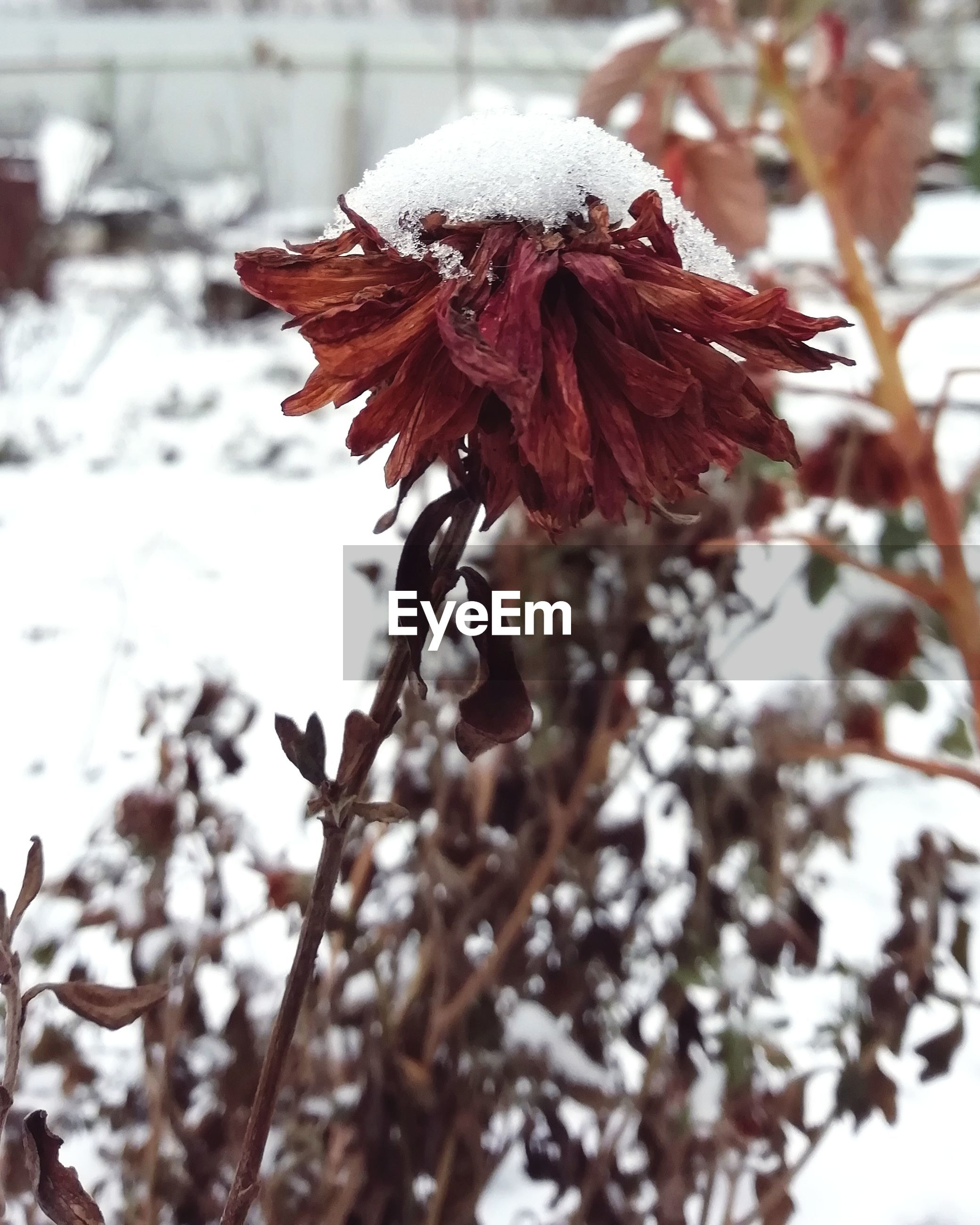 plant, focus on foreground, close-up, beauty in nature, snow, growth, fragility, winter, nature, cold temperature, vulnerability, day, flowering plant, flower, no people, red, tree, freshness, petal, outdoors, flower head, wilted plant