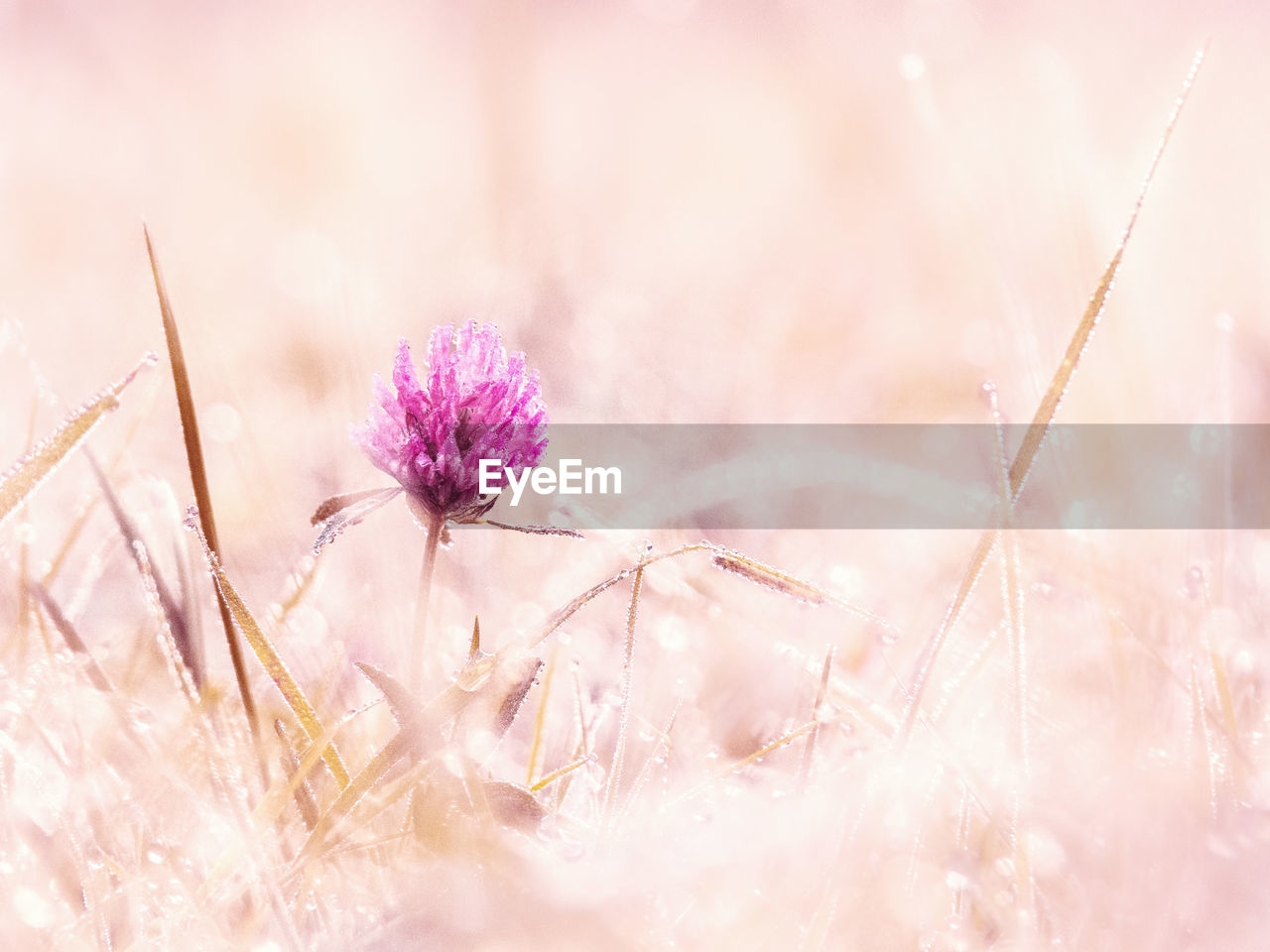 flower, nature, plant, fragility, field, beauty in nature, no people, selective focus, growth, outdoors, tranquility, close-up, pink color, flower head, day, grass, winter, freshness