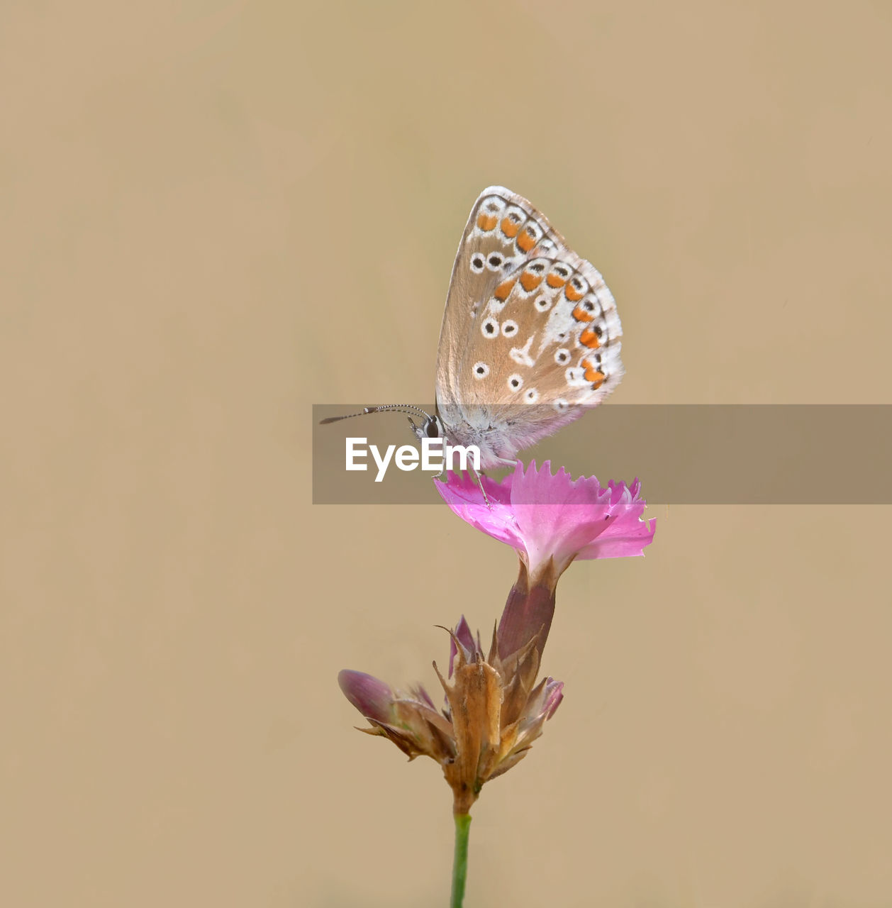 flower, flowering plant, plant, beauty in nature, fragility, vulnerability, freshness, close-up, petal, animal wildlife, one animal, insect, animal themes, flower head, animal, invertebrate, nature, animals in the wild, butterfly - insect, no people, pink color, animal wing, pollination, outdoors, butterfly
