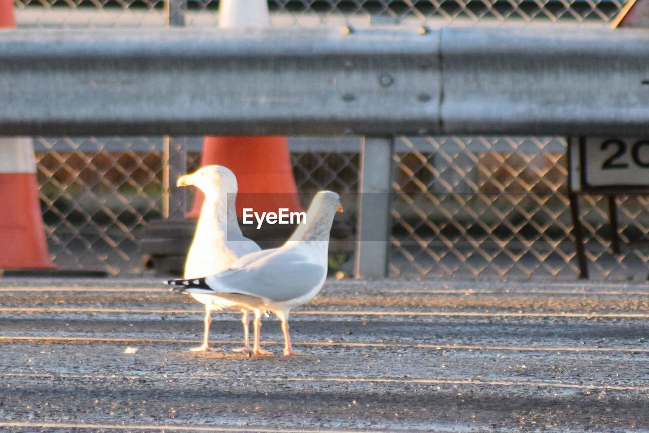 animal themes, bird, animals in the wild, animal wildlife, day, outdoors, no people, seagull, retaining wall, nature, perching
