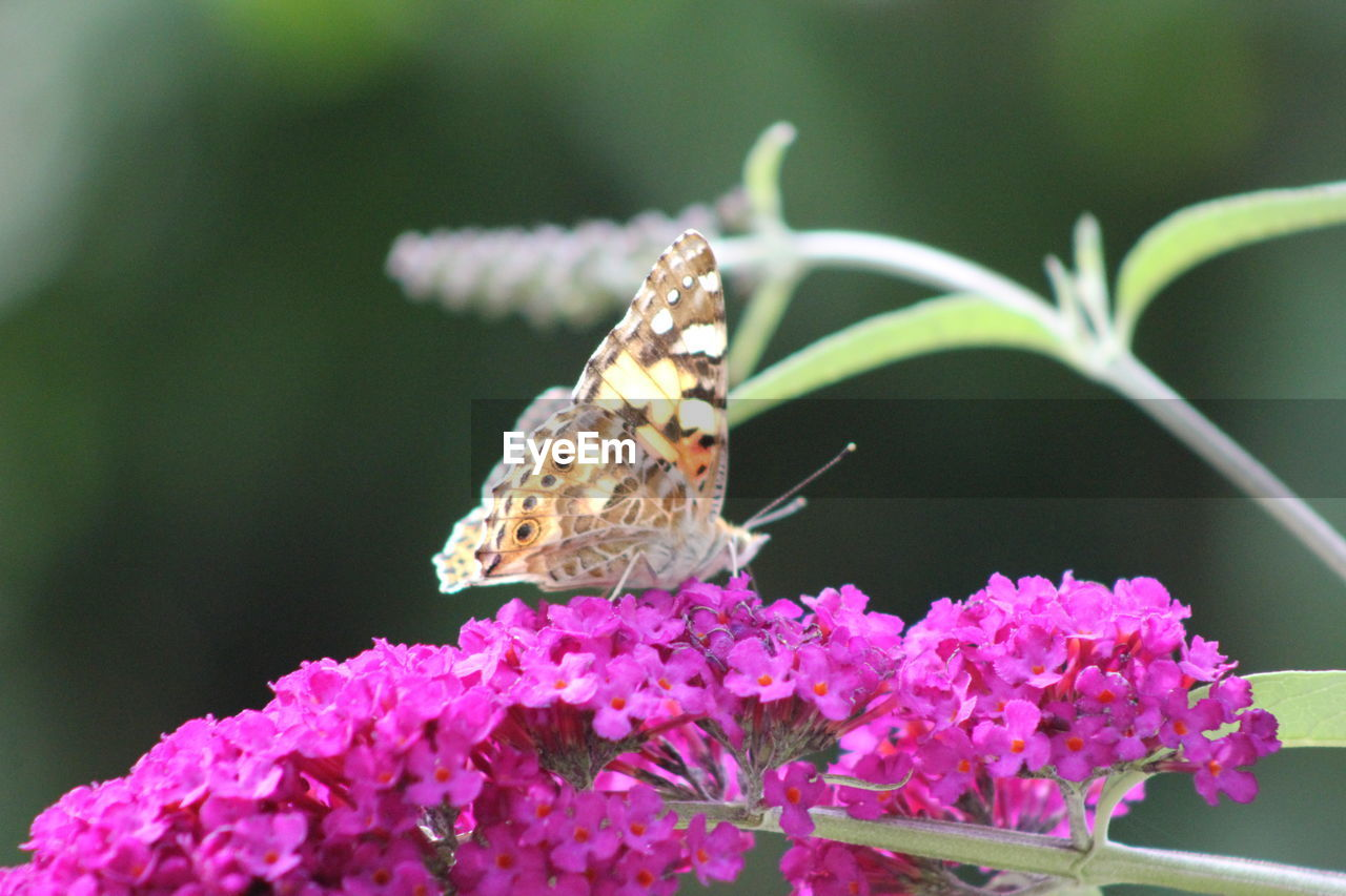one animal, insect, animals in the wild, animal themes, flower, nature, butterfly - insect, beauty in nature, fragility, growth, plant, no people, freshness, close-up, animal wildlife, day, butterfly, pollination, outdoors, focus on foreground, pink color, spread wings, perching, flower head