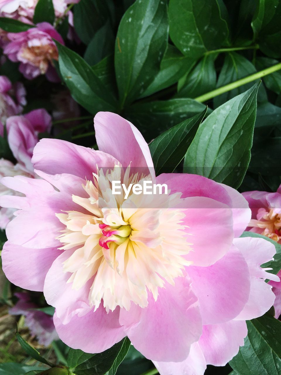 flower, flowering plant, plant, freshness, petal, beauty in nature, fragility, vulnerability, flower head, inflorescence, growth, pink color, leaf, plant part, close-up, nature, no people, day, pollen, outdoors