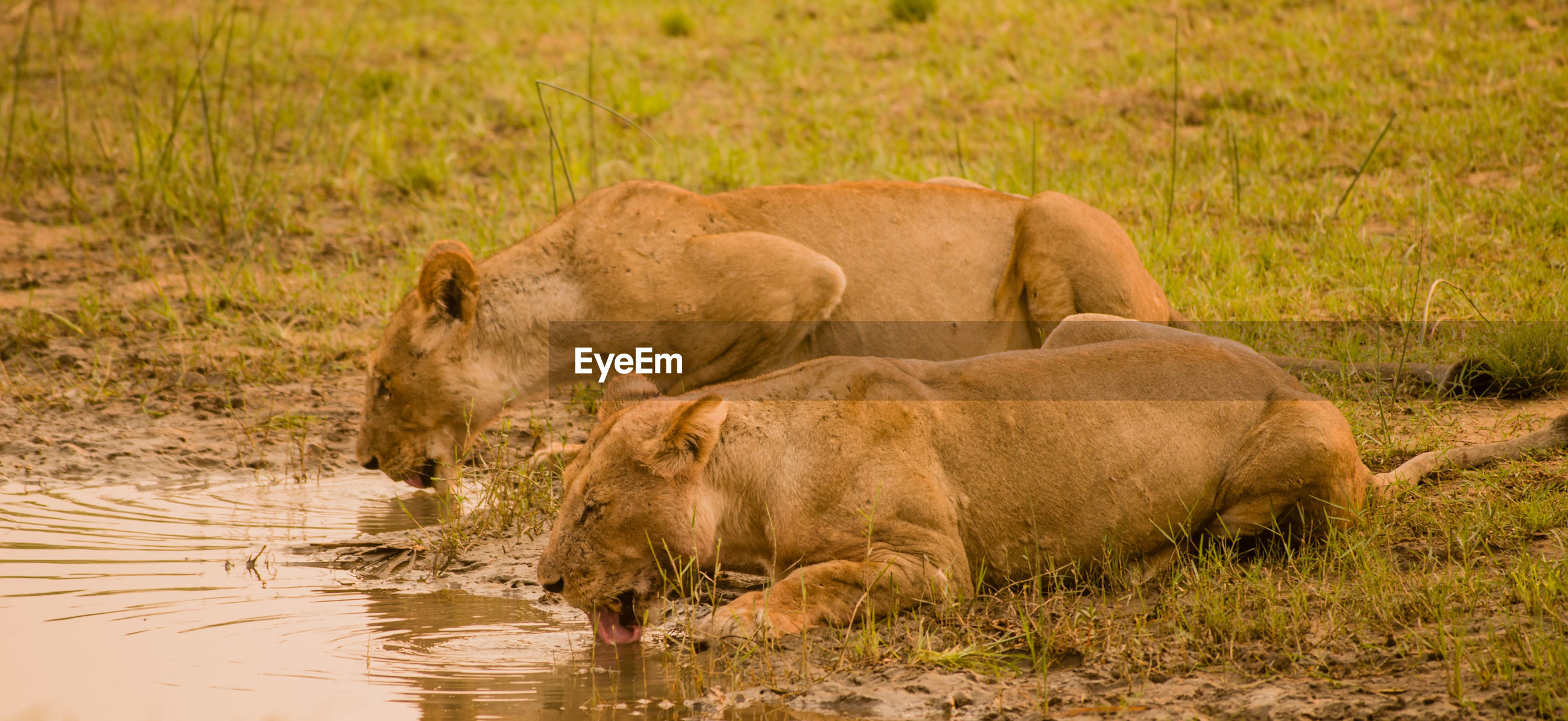 Lionesses Drinking Water In Lake