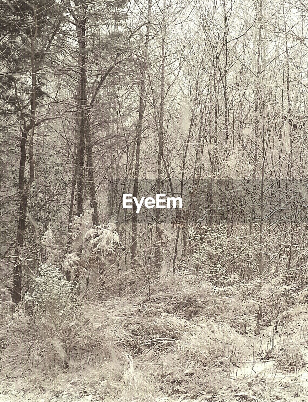 Frozen Bare Trees In Forest