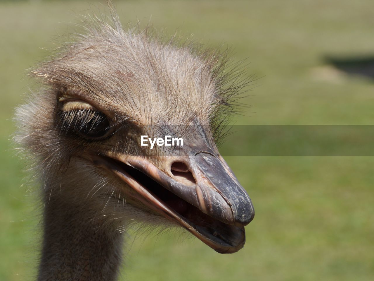 animal themes, one animal, bird, animal, animals in the wild, animal wildlife, vertebrate, close-up, beak, focus on foreground, animal body part, day, animal head, no people, nature, ostrich, outdoors, young animal, looking, looking away, animal eye, animal neck