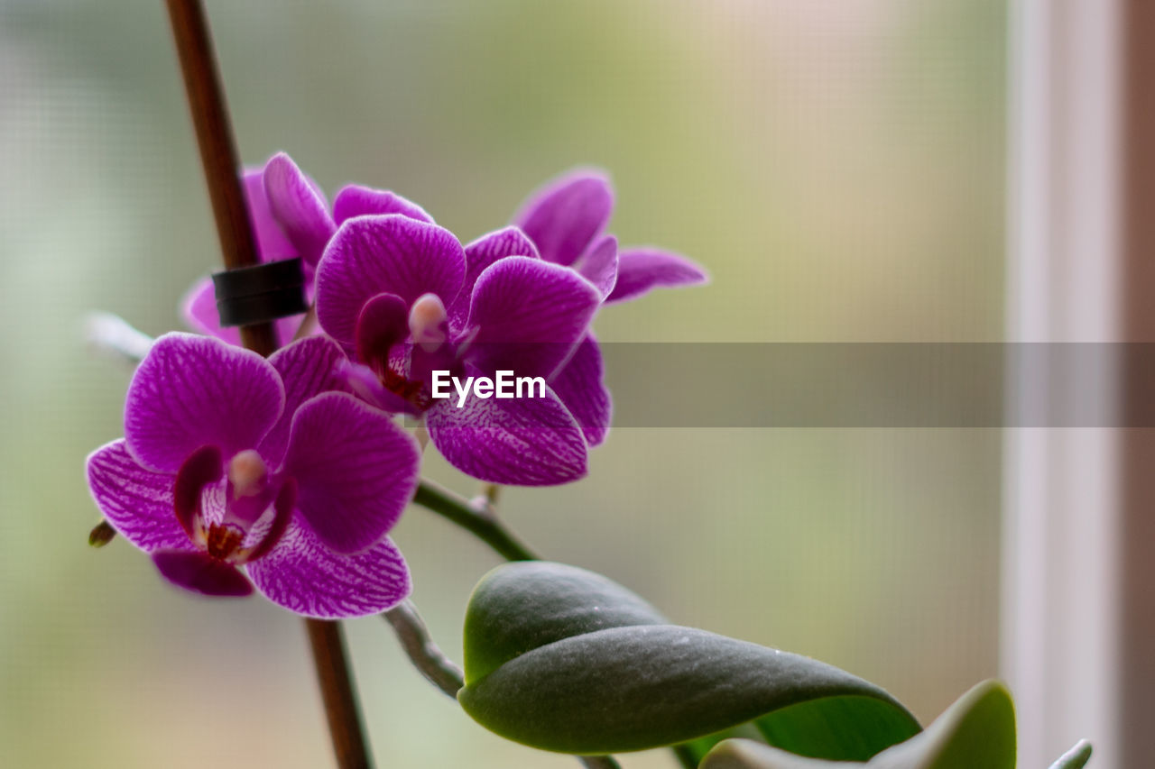 plant, flower, flowering plant, vulnerability, fragility, beauty in nature, growth, close-up, focus on foreground, freshness, petal, no people, purple, nature, flower head, plant stem, inflorescence, orchid, day, indoors