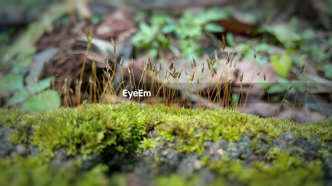 growth, nature, selective focus, plant, green color, tranquility, grass, moss, no people, outdoors, beauty in nature, day, close-up