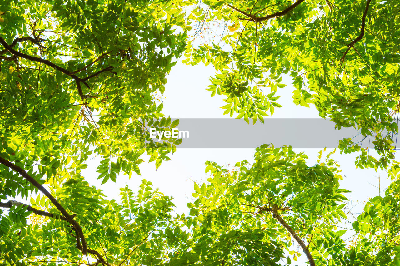 tree, plant, growth, green color, low angle view, beauty in nature, branch, leaf, nature, sky, plant part, day, no people, outdoors, tranquility, sunlight, freshness, lush foliage, foliage, clear sky, tree canopy, directly below
