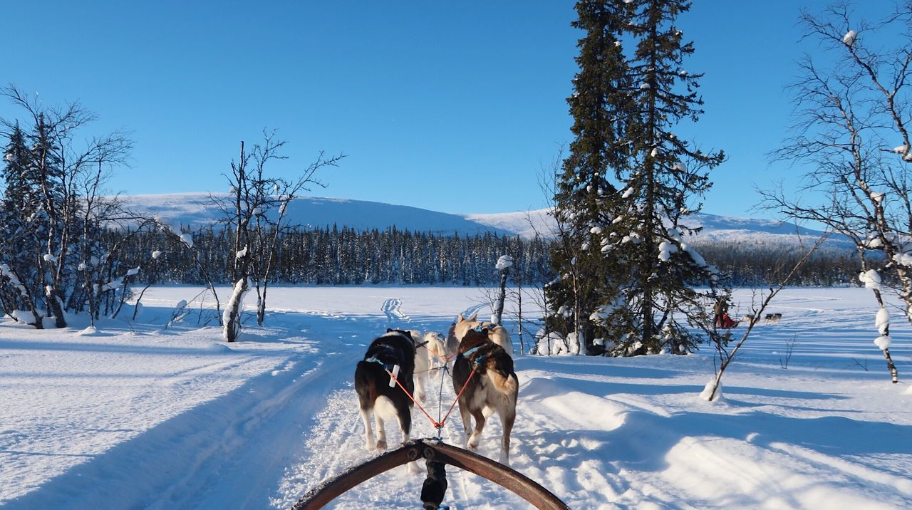 Dogs pulling sled on snow covered field