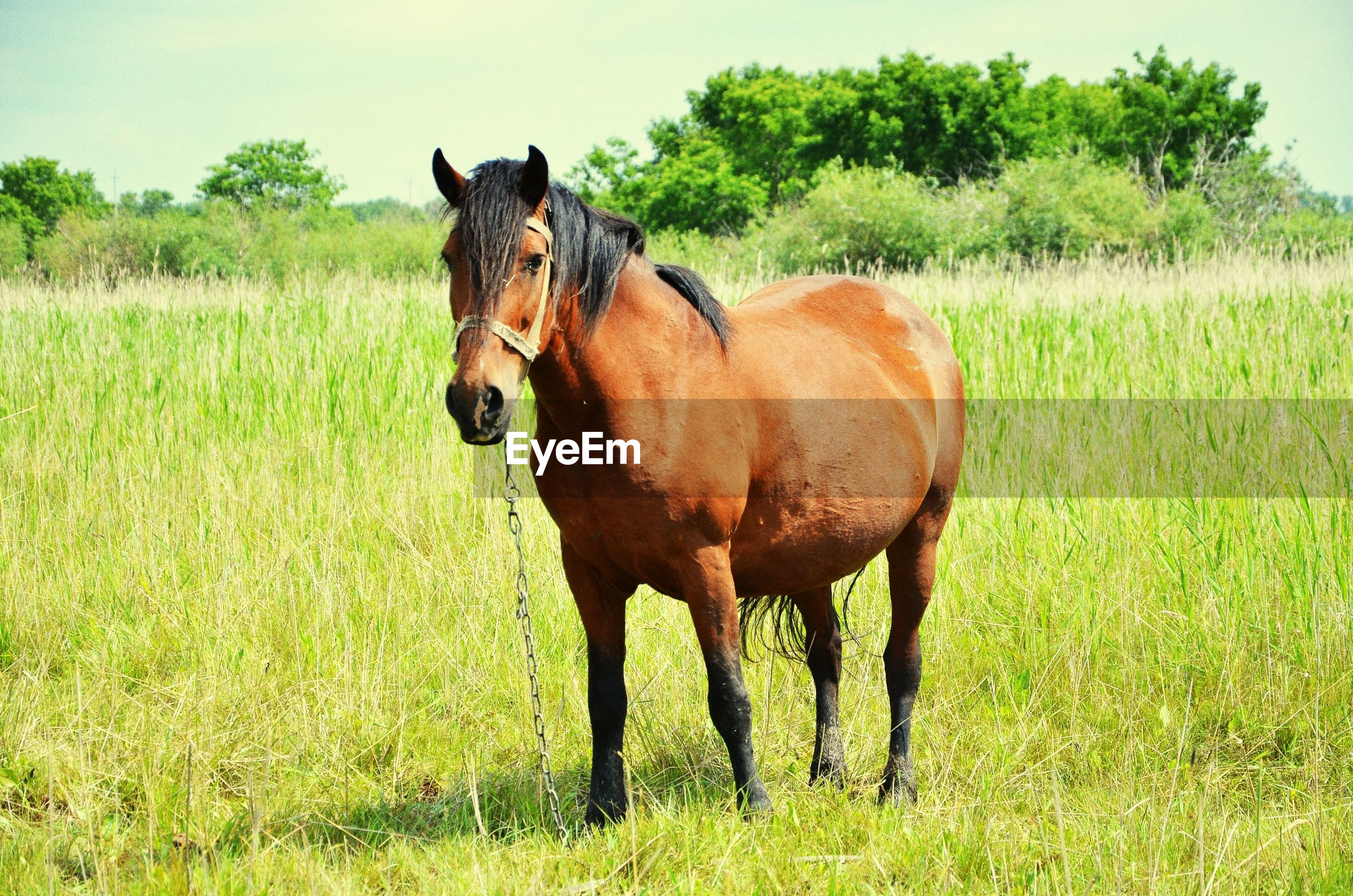 animal themes, mammal, domestic animals, grass, field, one animal, standing, grassy, livestock, horse, landscape, full length, green color, herbivorous, nature, grazing, side view, tree, brown, no people