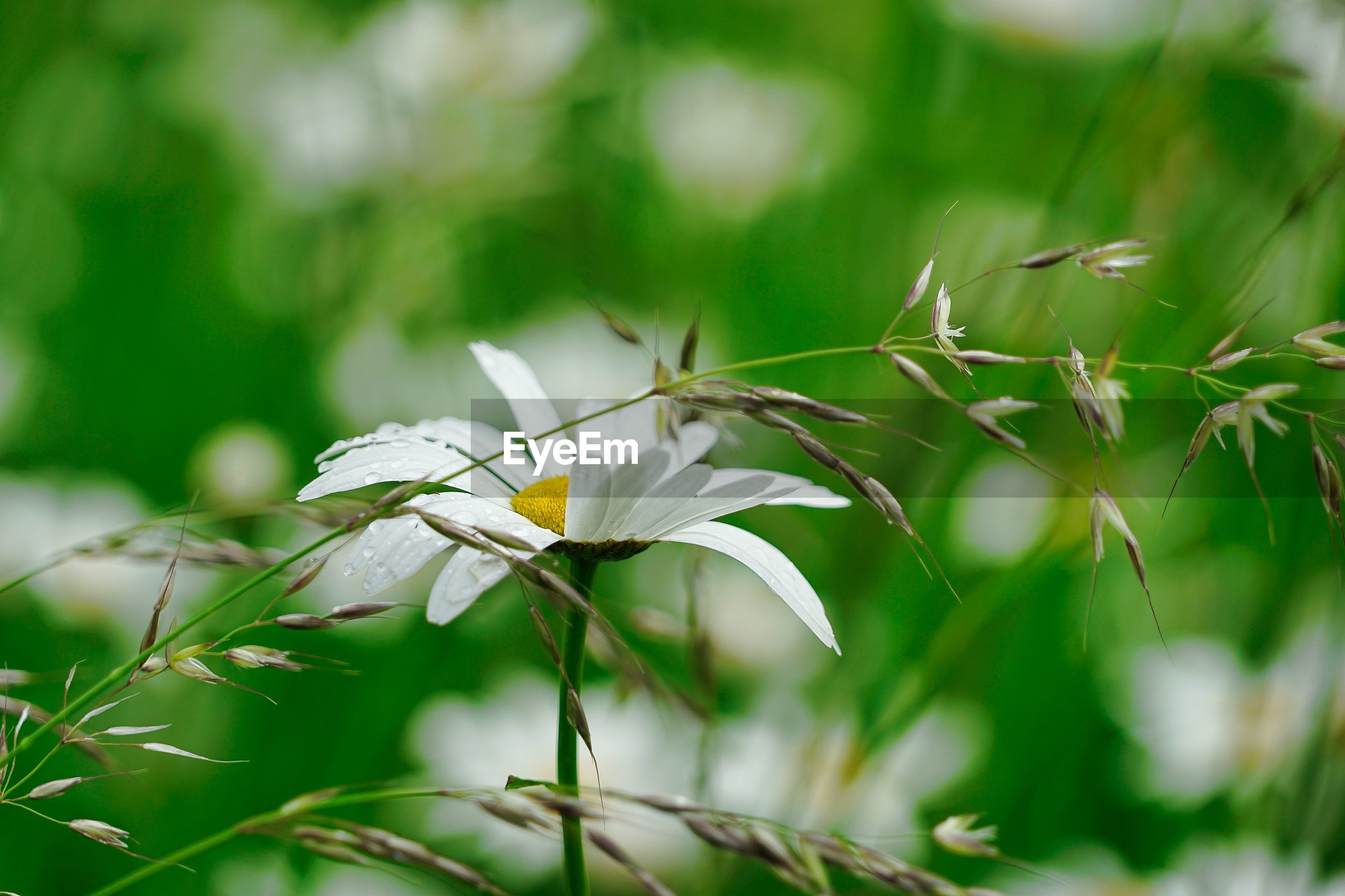 CLOSE-UP OF WHITE FLOWERING PLANTS ON LAND