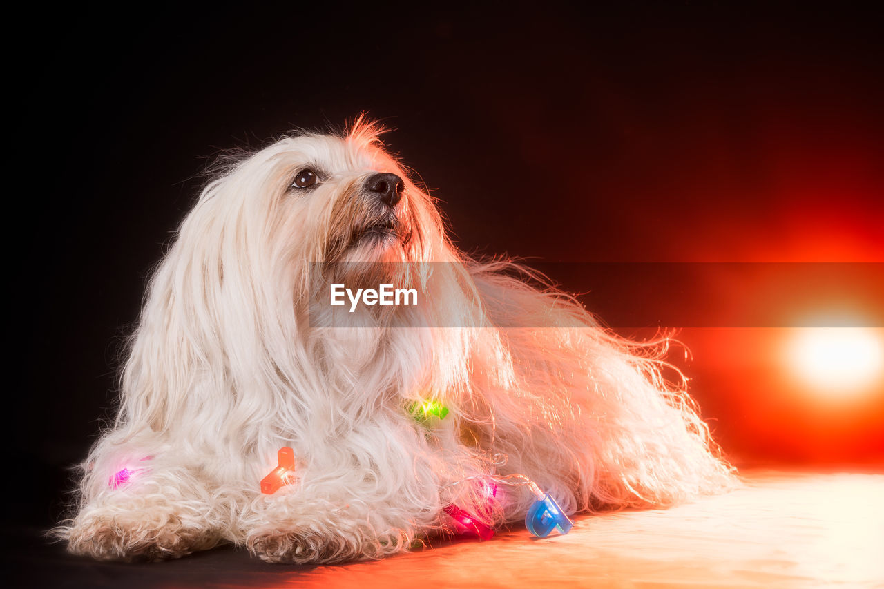 pets, one animal, domestic, mammal, animal themes, domestic animals, animal, canine, dog, animal hair, studio shot, hair, vertebrate, indoors, no people, lap dog, front view, looking away, portrait, black background, small