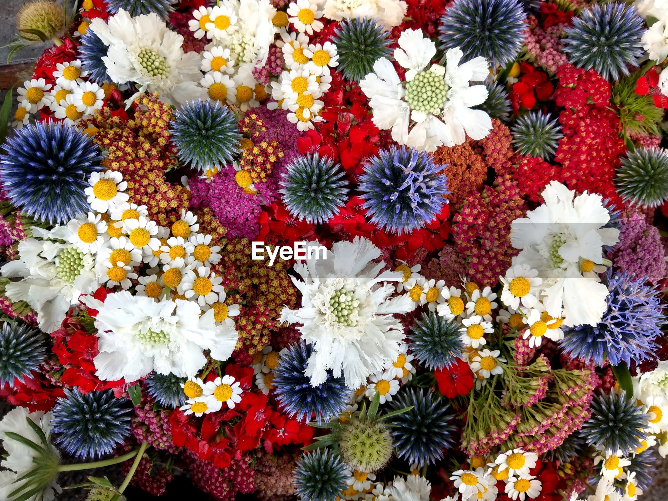 HIGH ANGLE VIEW OF MULTI COLORED DAISY FLOWERS
