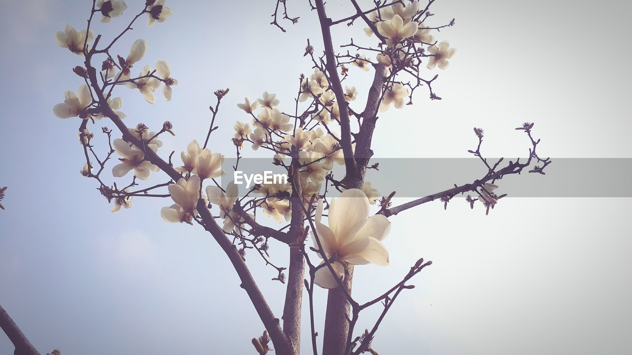 flower, branch, tree, fragility, magnolia, beauty in nature, nature, low angle view, petal, growth, twig, freshness, no people, day, flower head, sky, outdoors, springtime, plant, blooming, close-up