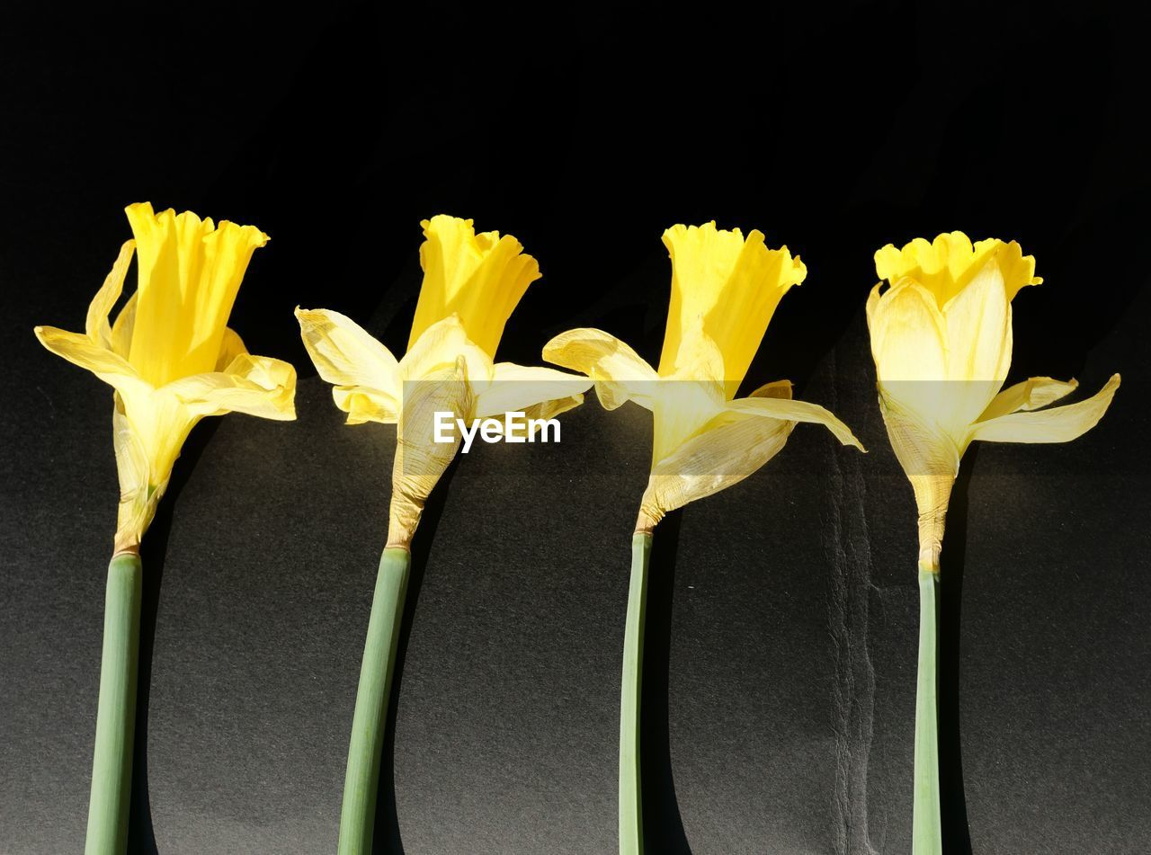 yellow, black background, studio shot, close-up, no people, outdoors, freshness, day