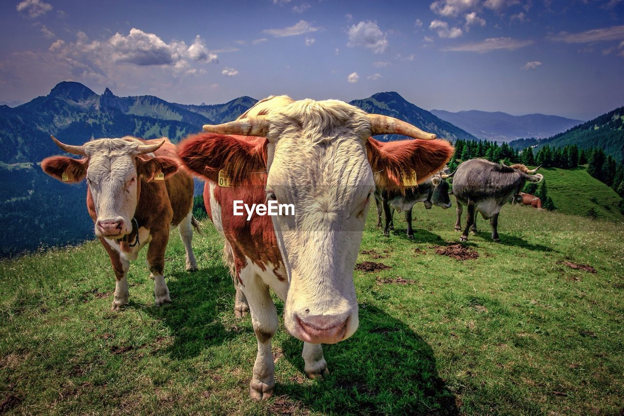 Cows On Grassy Field Against Mountains