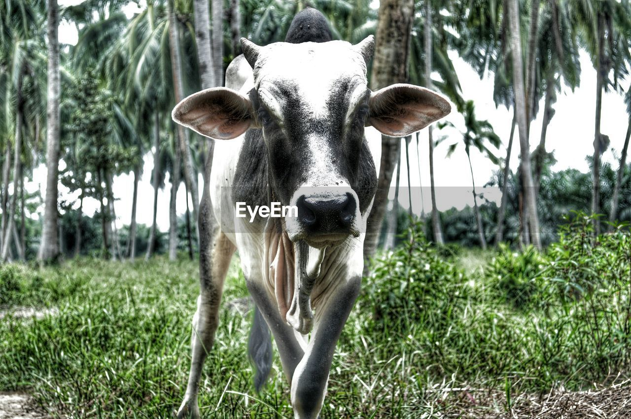 Close up of cow