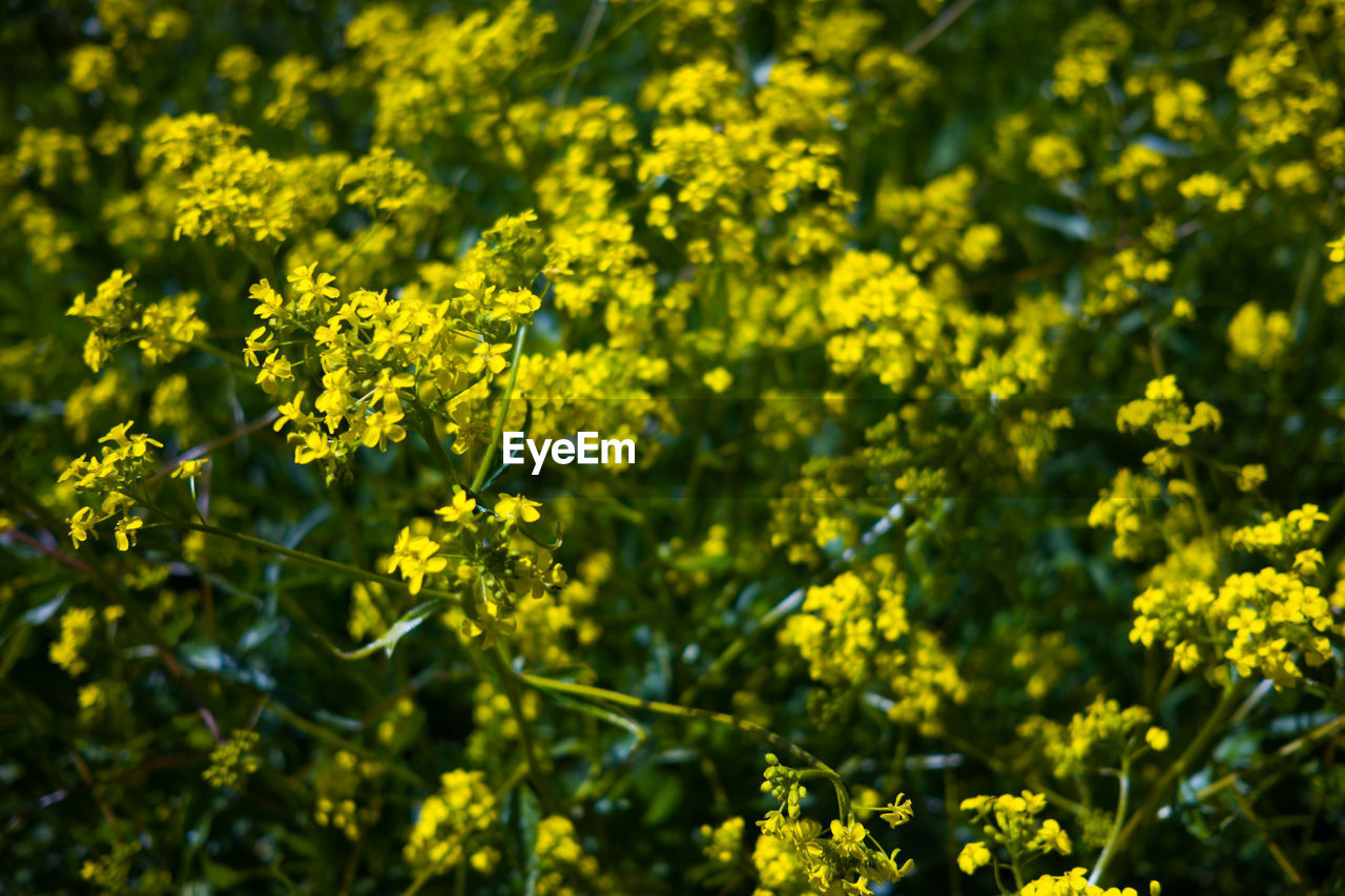 yellow, growth, plant, beauty in nature, flower, flowering plant, freshness, fragility, day, vulnerability, nature, no people, outdoors, green color, selective focus, focus on foreground, sunlight, close-up, tranquility, field