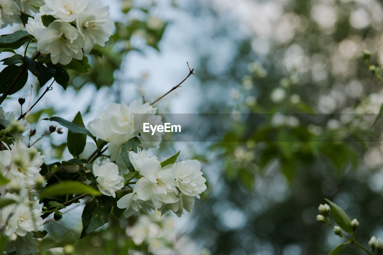 flower, flowering plant, plant, fragility, vulnerability, beauty in nature, freshness, growth, close-up, petal, white color, tree, focus on foreground, nature, flower head, day, no people, branch, blossom, inflorescence, springtime, outdoors, cherry blossom, cherry tree