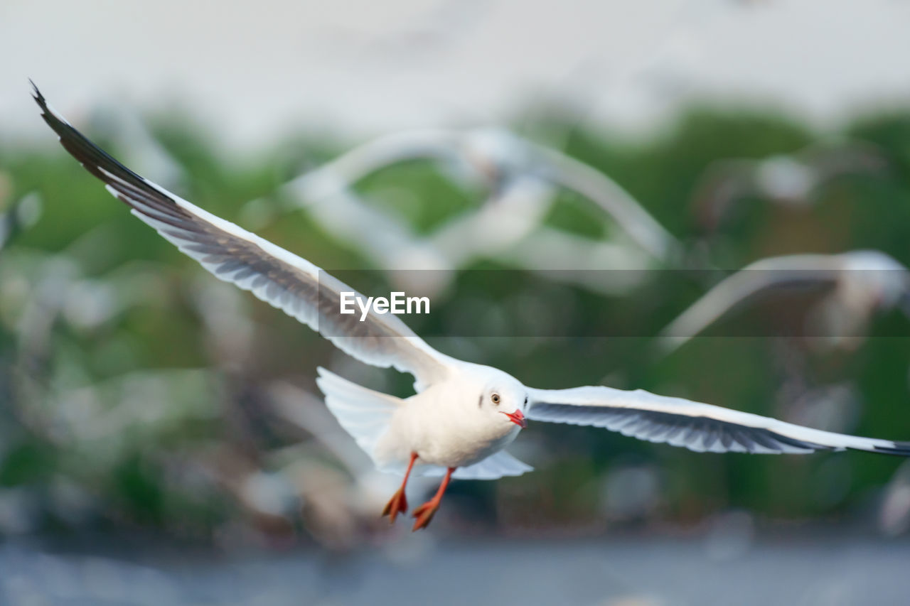 A photograph of a white seagull flying in the sky with its flocks.