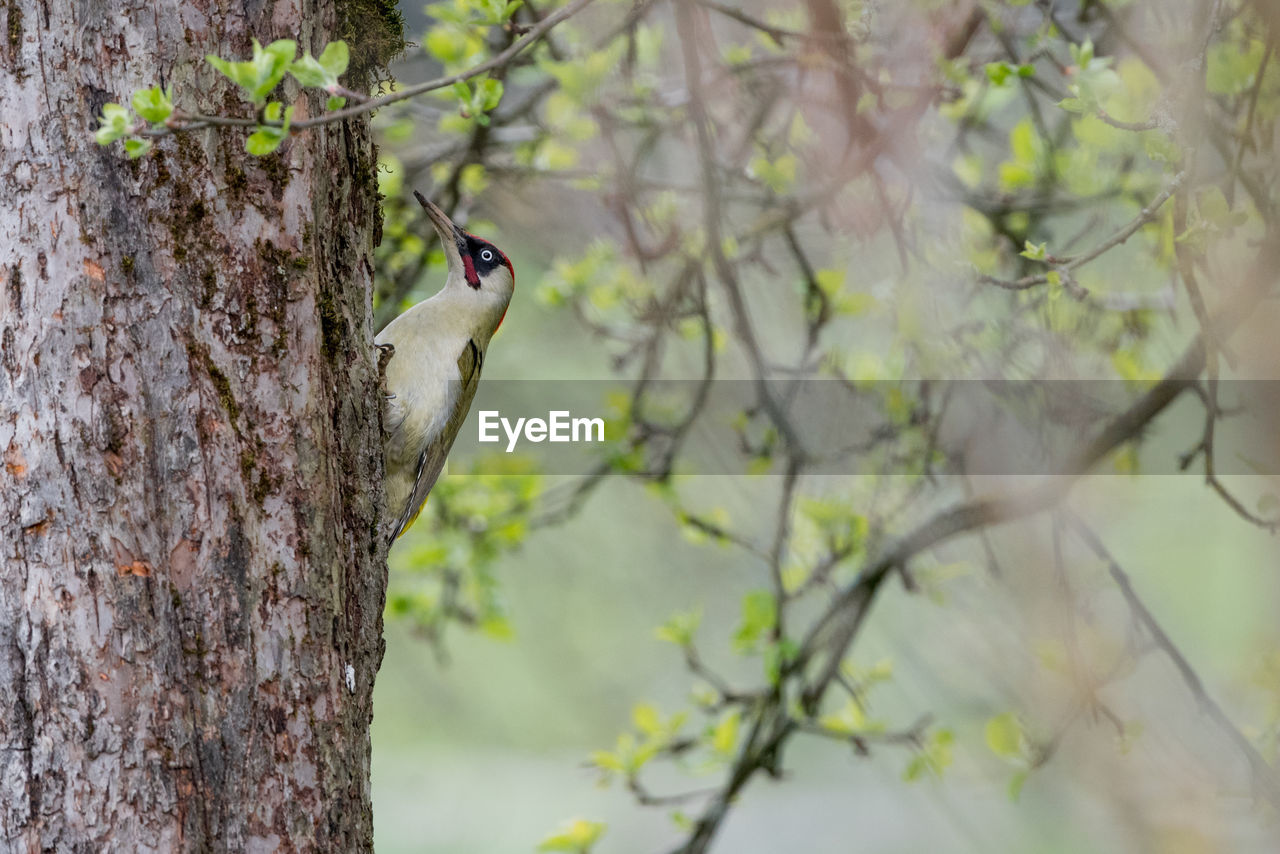 vertebrate, animals in the wild, one animal, animal wildlife, animal, tree, animal themes, bird, plant, perching, tree trunk, trunk, branch, focus on foreground, nature, no people, day, woodpecker, outdoors, low angle view