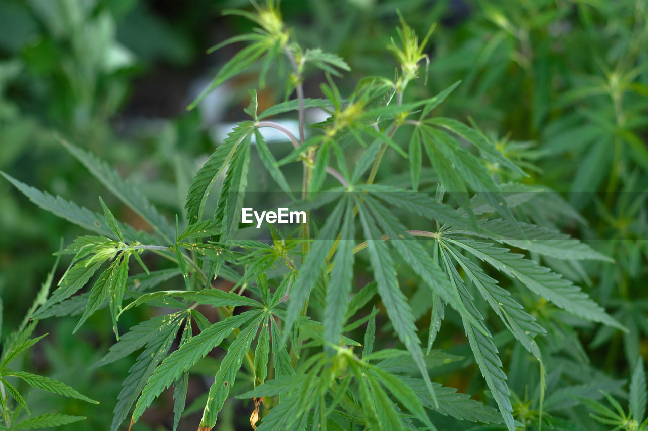 green color, growth, plant, leaf, plant part, beauty in nature, close-up, nature, no people, day, selective focus, outdoors, tranquility, focus on foreground, freshness, full frame, herb, tree, marijuana - herbal cannabis, cannabis plant, needle - plant part