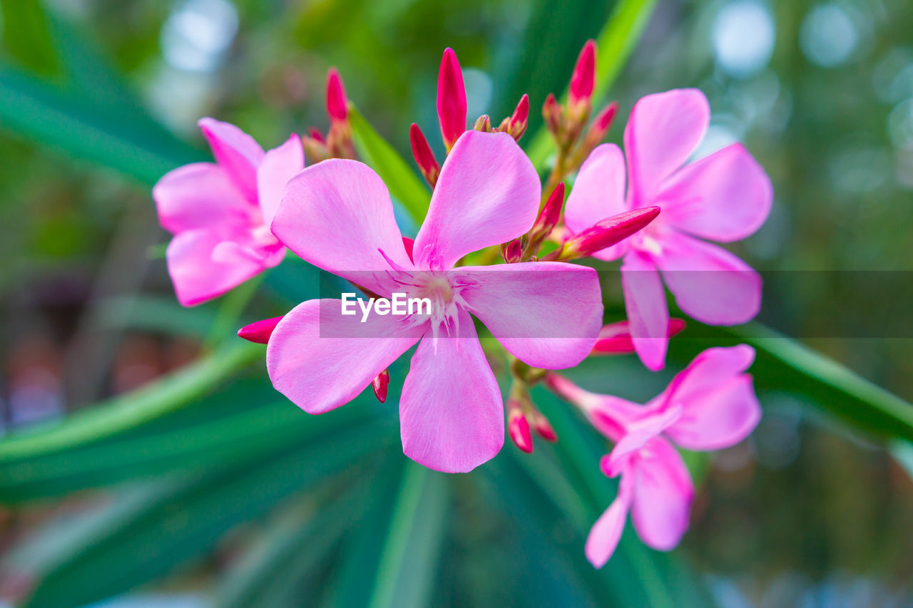 flower, nature, pink color, petal, growth, beauty in nature, fragility, freshness, focus on foreground, flower head, close-up, day, plant, no people, outdoors, blooming, green color, leaf, periwinkle