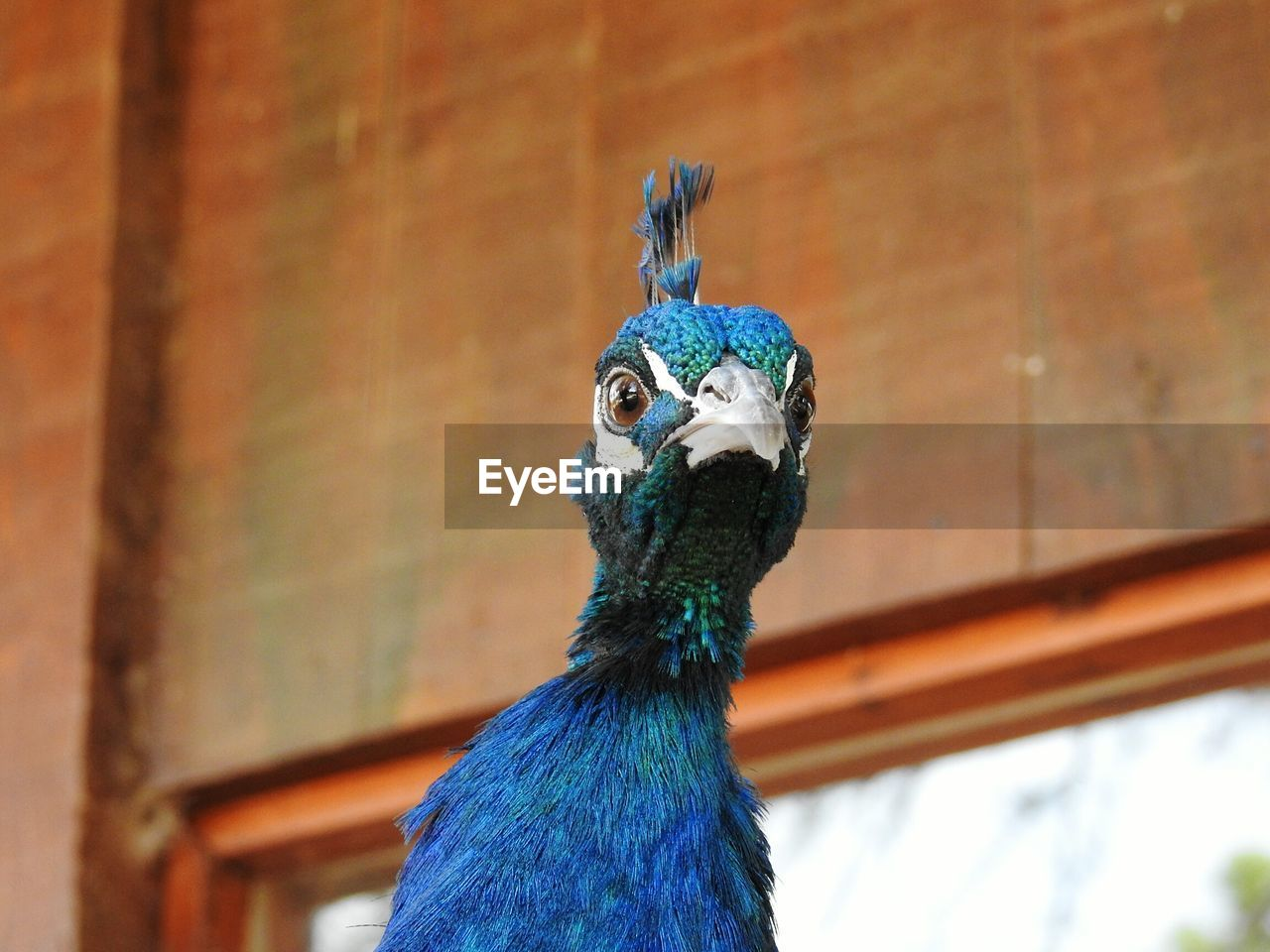 bird, animal themes, one animal, animal, vertebrate, peacock, animal wildlife, animals in the wild, focus on foreground, animal body part, blue, no people, animal head, close-up, animal's crest, day, beak, male animal, looking, feather, animal neck, animal eye