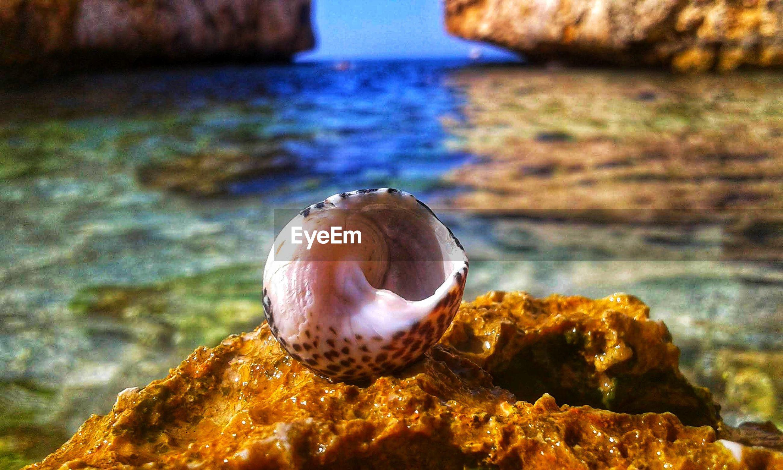 Close-up of seashell on rock at sea