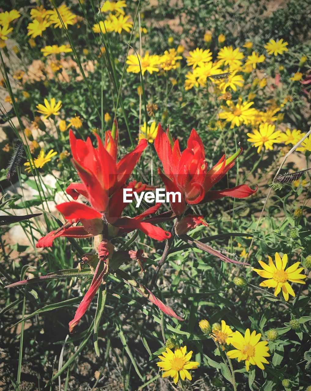 flowering plant, flower, fragility, vulnerability, freshness, beauty in nature, plant, growth, petal, flower head, inflorescence, red, close-up, nature, land, field, no people, day, yellow, botany, outdoors, pollen, flowerbed