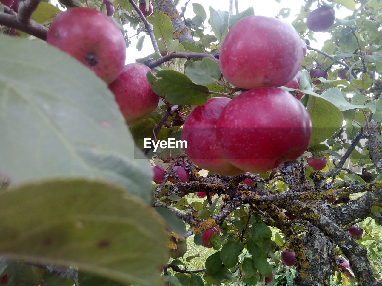 fruit, healthy eating, food and drink, food, plant part, leaf, plant, growth, red, freshness, wellbeing, tree, green color, nature, day, close-up, fruit tree, apple tree, no people, ripe, outdoors