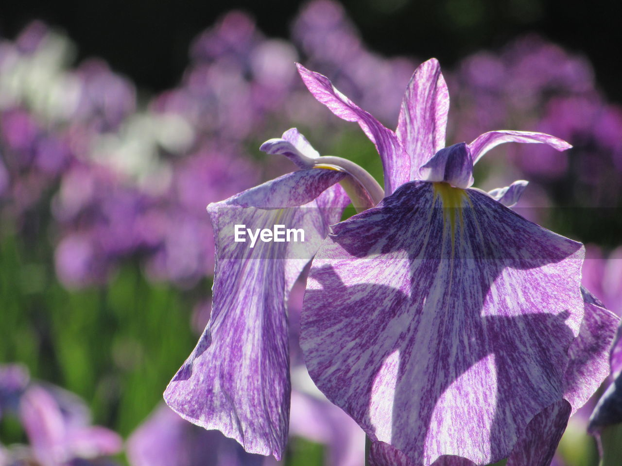 Close-Up Of Purple Iris Blooming On Sunny Day