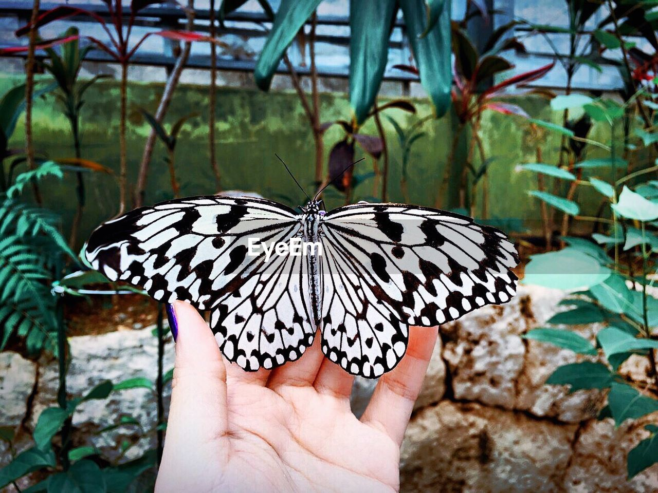 Cropped Hand Of Woman Holding Butterfly At Okinawa Churaumi Aquarium