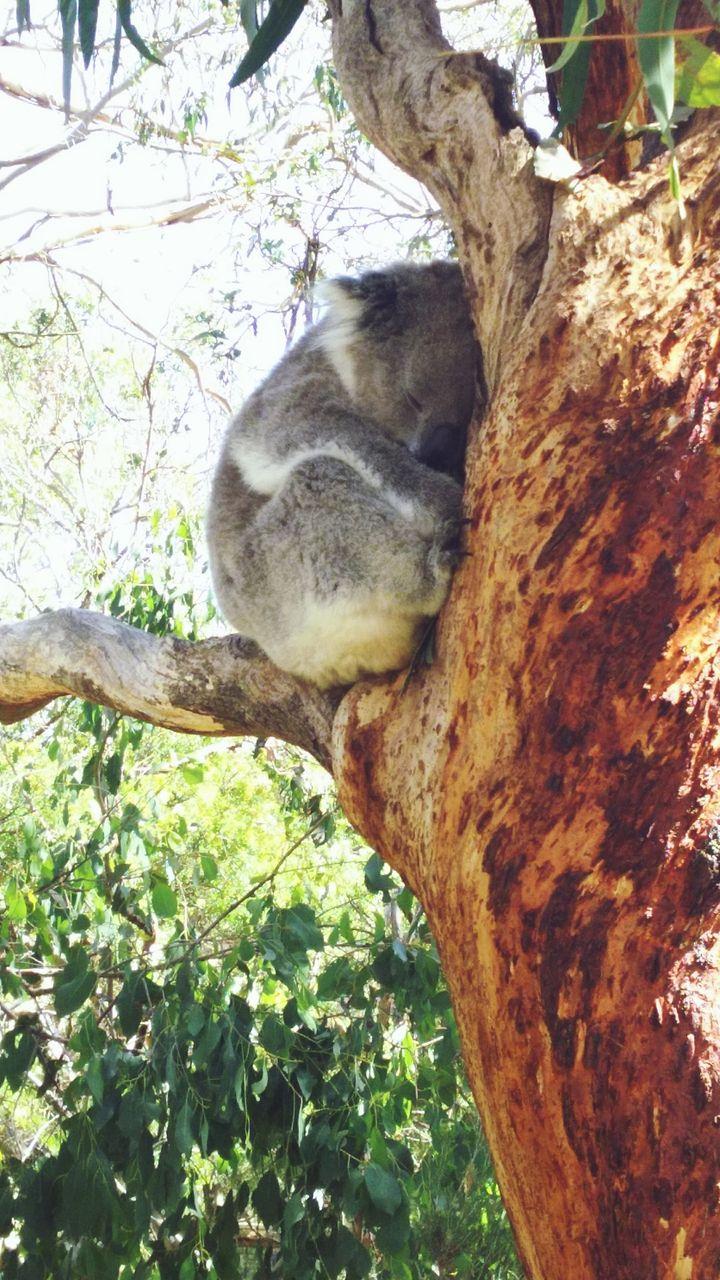 tree, animal themes, animal, one animal, plant, mammal, branch, animals in the wild, animal wildlife, tree trunk, trunk, nature, vertebrate, no people, day, sleeping, squirrel, outdoors, koala, rodent