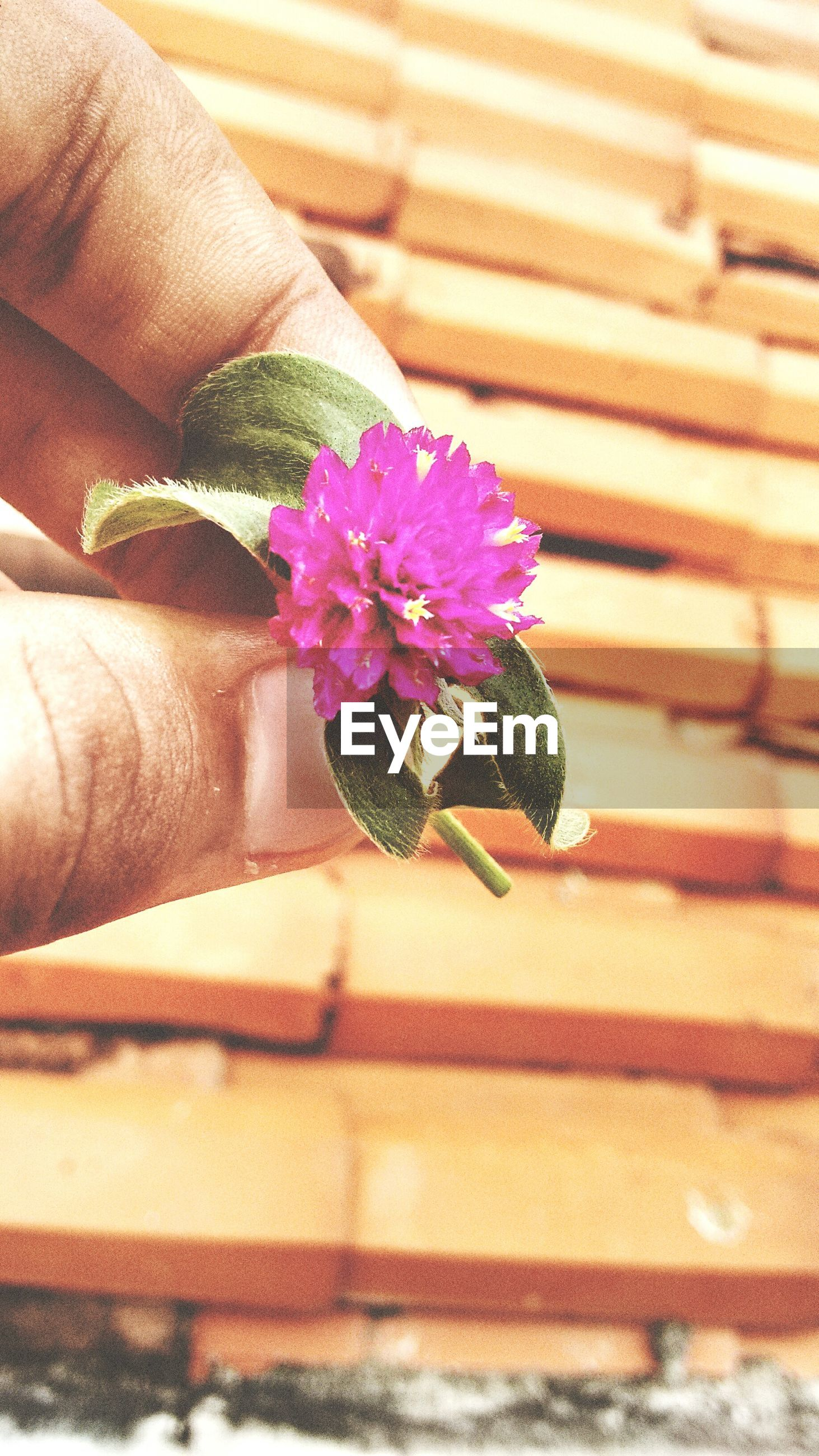 flower, freshness, petal, fragility, flower head, pink color, growth, plant, close-up, beauty in nature, potted plant, indoors, vase, single flower, nature, blooming, wall - building feature, focus on foreground, selective focus, pink