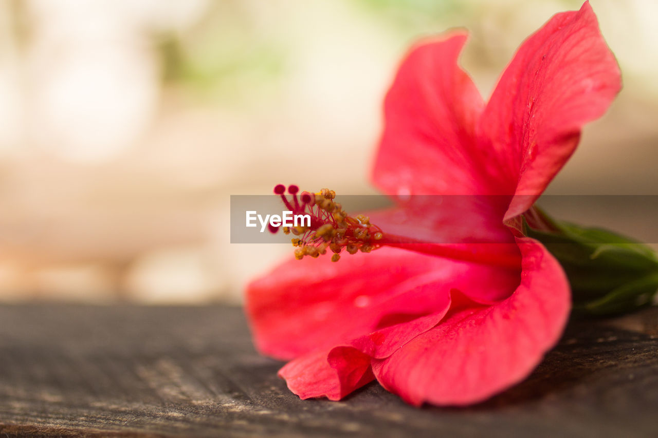 flowering plant, flower, freshness, petal, beauty in nature, vulnerability, plant, close-up, fragility, selective focus, inflorescence, flower head, nature, growth, red, no people, pollen, pink color, focus on foreground, outdoors