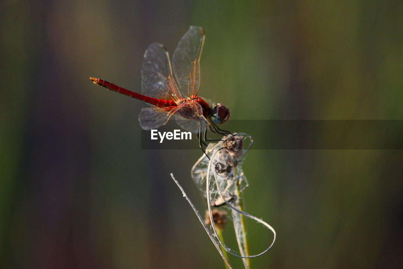 animal wildlife, invertebrate, animals in the wild, insect, animal, animal themes, close-up, one animal, focus on foreground, animal wing, nature, plant, no people, day, zoology, selective focus, outdoors, plant part