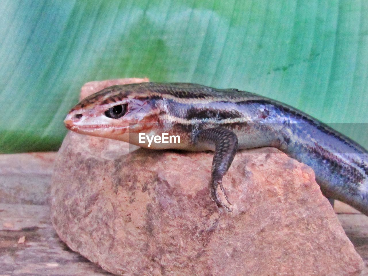 animal, animal themes, one animal, vertebrate, reptile, animal wildlife, animals in the wild, lizard, close-up, no people, day, outdoors, solid, nature, rock - object, rock, animal body part, focus on foreground, looking, side view, animal head, animal scale