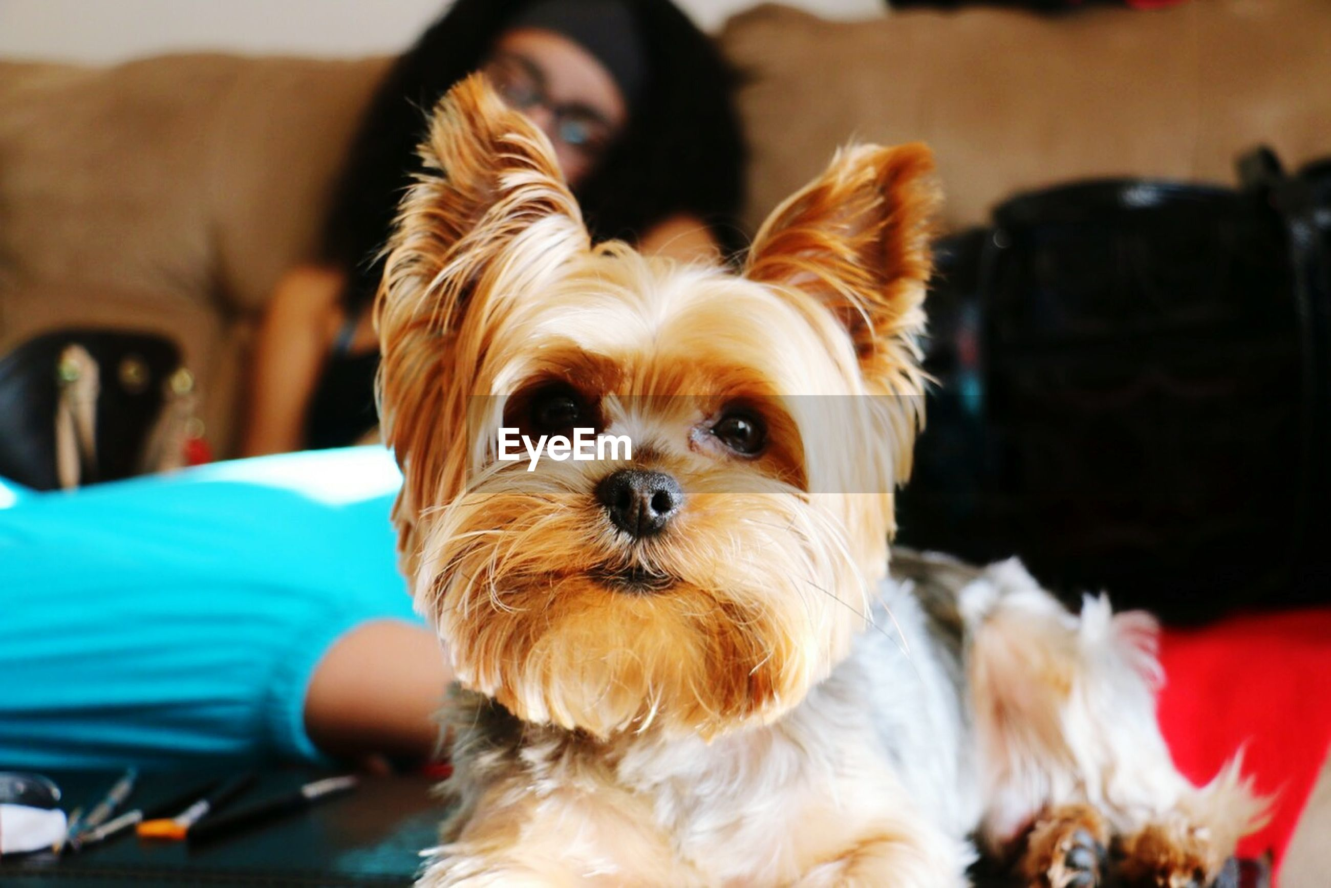 pets, dog, domestic animals, portrait, looking at camera, animal themes, one animal, mammal, indoors, focus on foreground, close-up, cute, animal hair, animal head, front view, no people, selective focus, relaxation, pampered pets, sitting