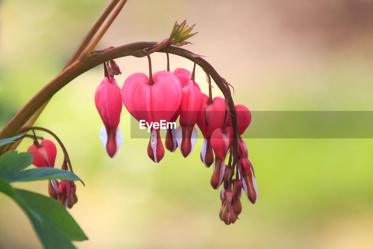plant, beauty in nature, flower, flowering plant, close-up, growth, pink color, petal, freshness, vulnerability, fragility, focus on foreground, nature, no people, selective focus, day, plant part, inflorescence, flower head, outdoors