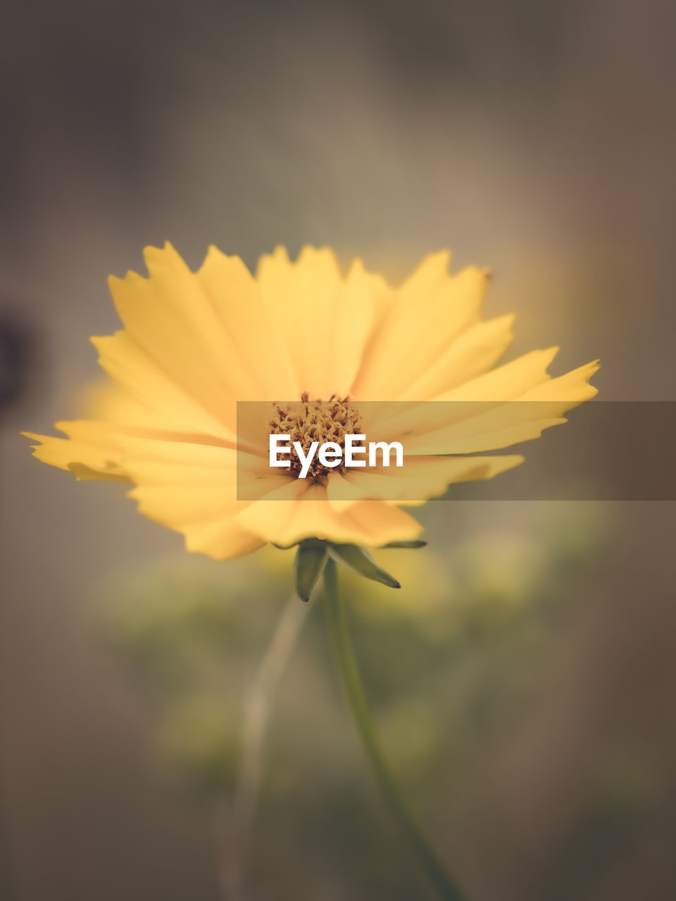 flowering plant, flower, fragility, vulnerability, freshness, petal, plant, beauty in nature, flower head, close-up, inflorescence, growth, yellow, pollen, nature, focus on foreground, no people, cosmos flower, day, sepal, gazania