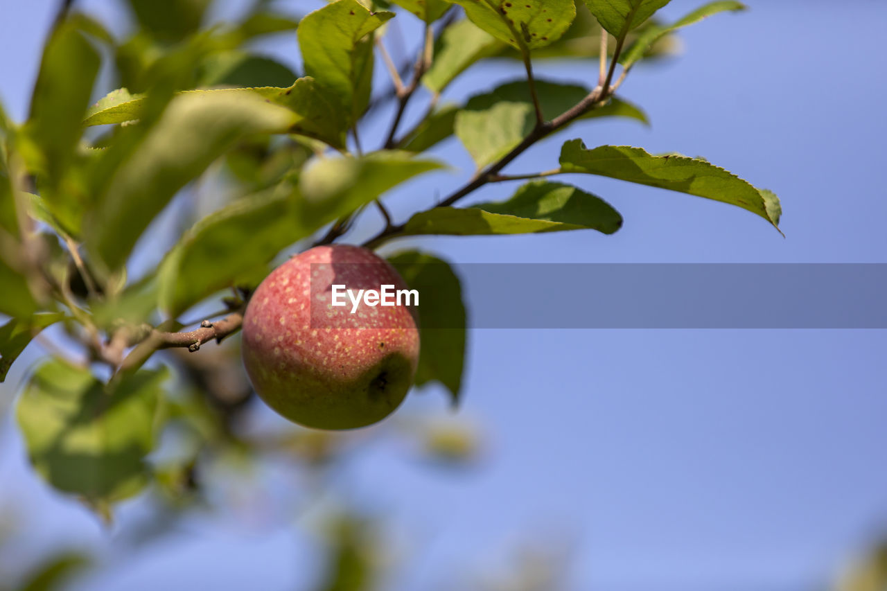 fruit, healthy eating, food, food and drink, growth, plant, freshness, leaf, plant part, wellbeing, close-up, tree, no people, nature, day, beauty in nature, fruit tree, green color, focus on foreground, selective focus, ripe, outdoors