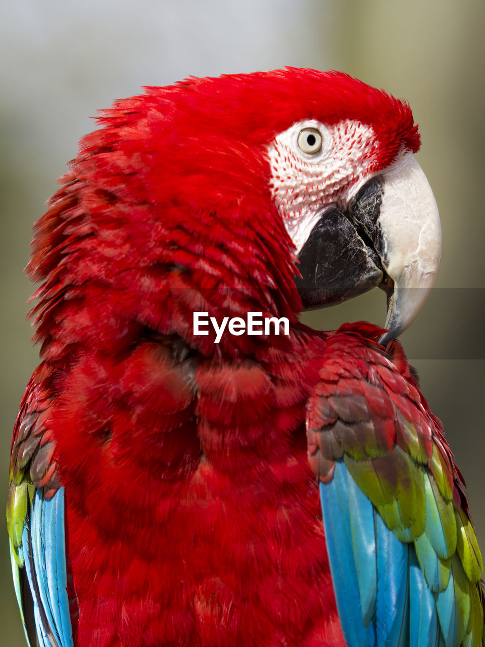Close-Up Of Scarlet Macaw Perching Outdoors