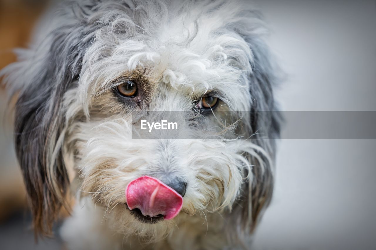 pets, domestic, dog, one animal, canine, domestic animals, animal themes, vertebrate, animal, mammal, hair, close-up, portrait, looking at camera, animal hair, indoors, no people, facial expression, sticking out tongue, animal body part, animal head, animal tongue, animal mouth