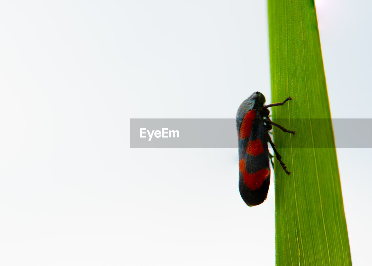 one animal, animal themes, animals in the wild, animal, copy space, animal wildlife, insect, invertebrate, close-up, no people, green color, studio shot, nature, red, plant, outdoors, day, vertebrate, side view, white background