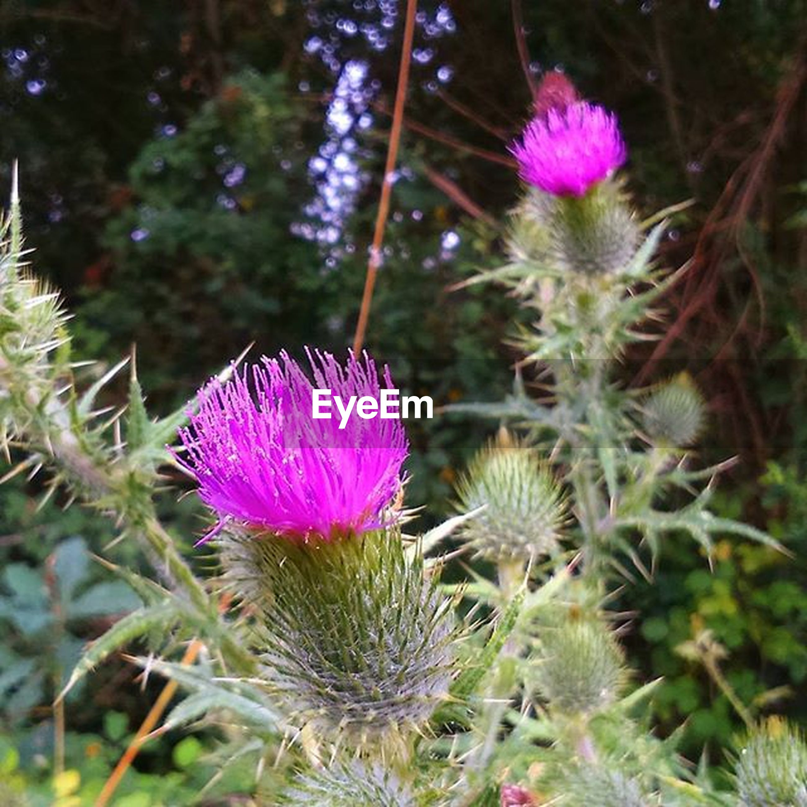 flower, growth, freshness, fragility, plant, beauty in nature, purple, nature, close-up, focus on foreground, flower head, pink color, blooming, stem, petal, thistle, in bloom, field, day, outdoors