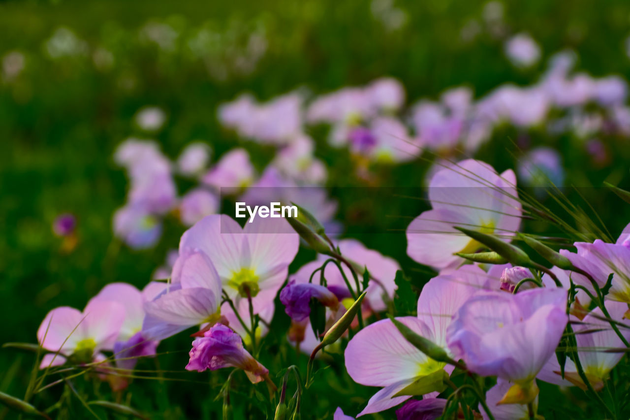 flowering plant, flower, beauty in nature, plant, freshness, vulnerability, fragility, petal, growth, close-up, nature, flower head, inflorescence, pink color, no people, purple, day, land, selective focus, focus on foreground, outdoors