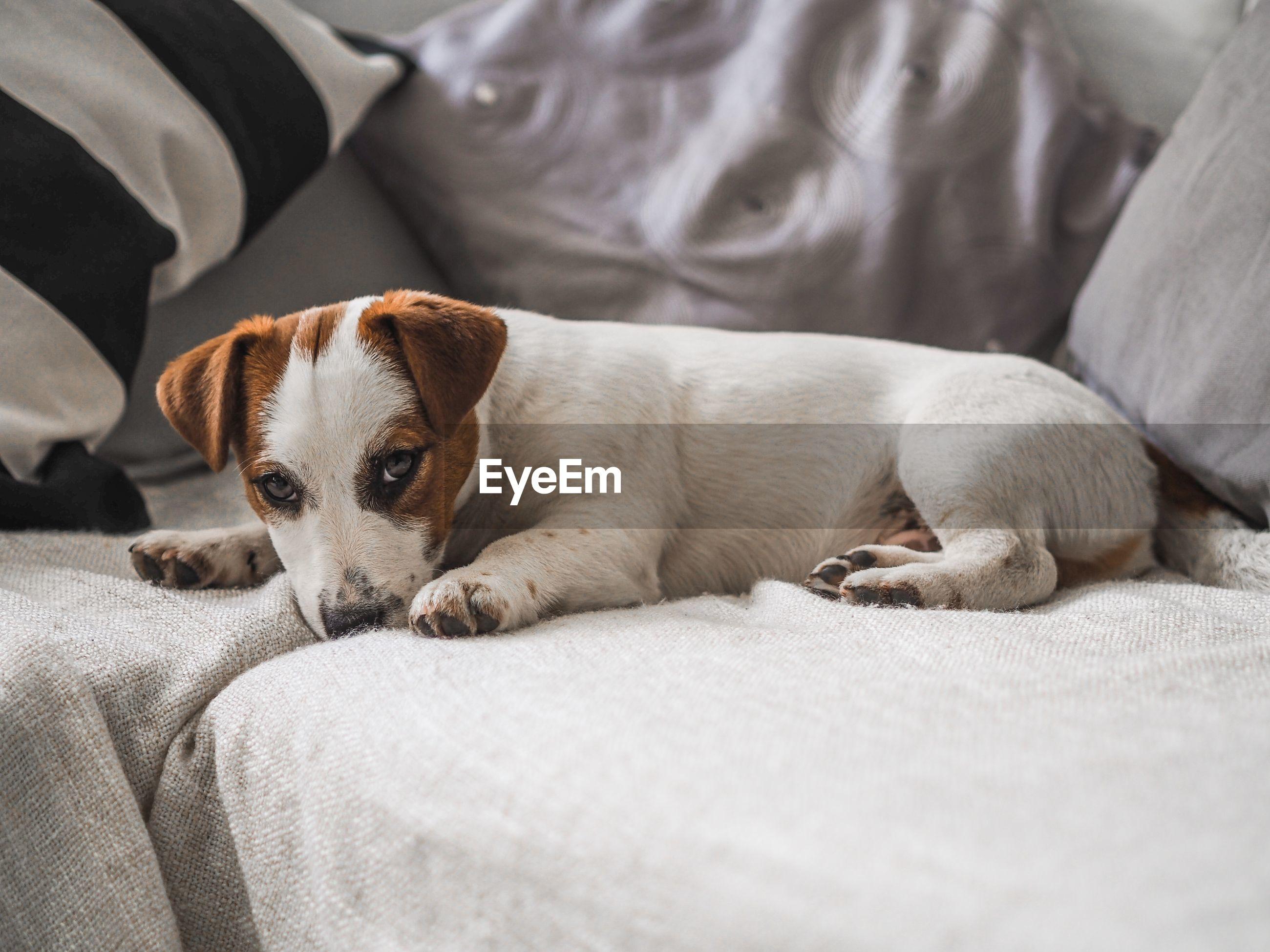 Portrait of dog resting on sofa