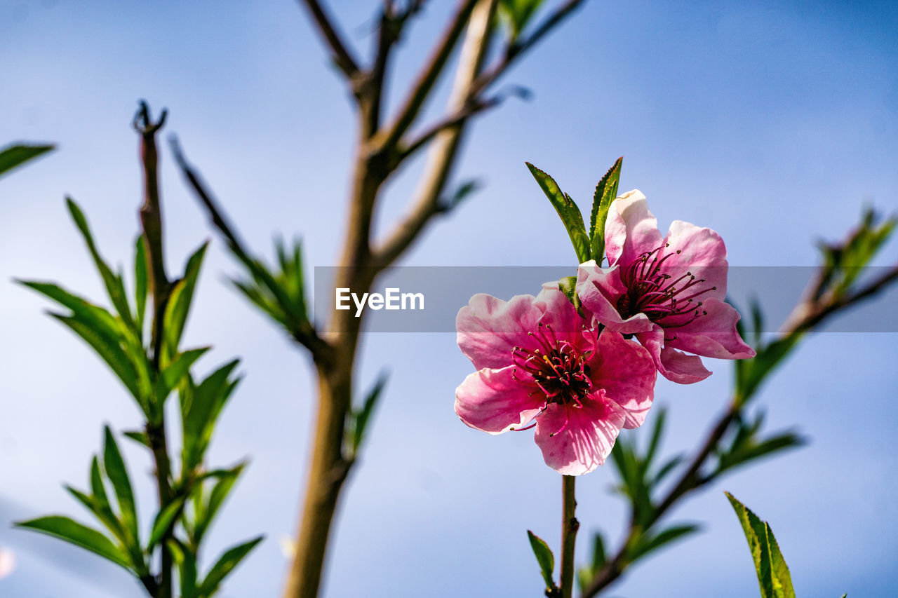 Close-up of pink flowers blooming against sky