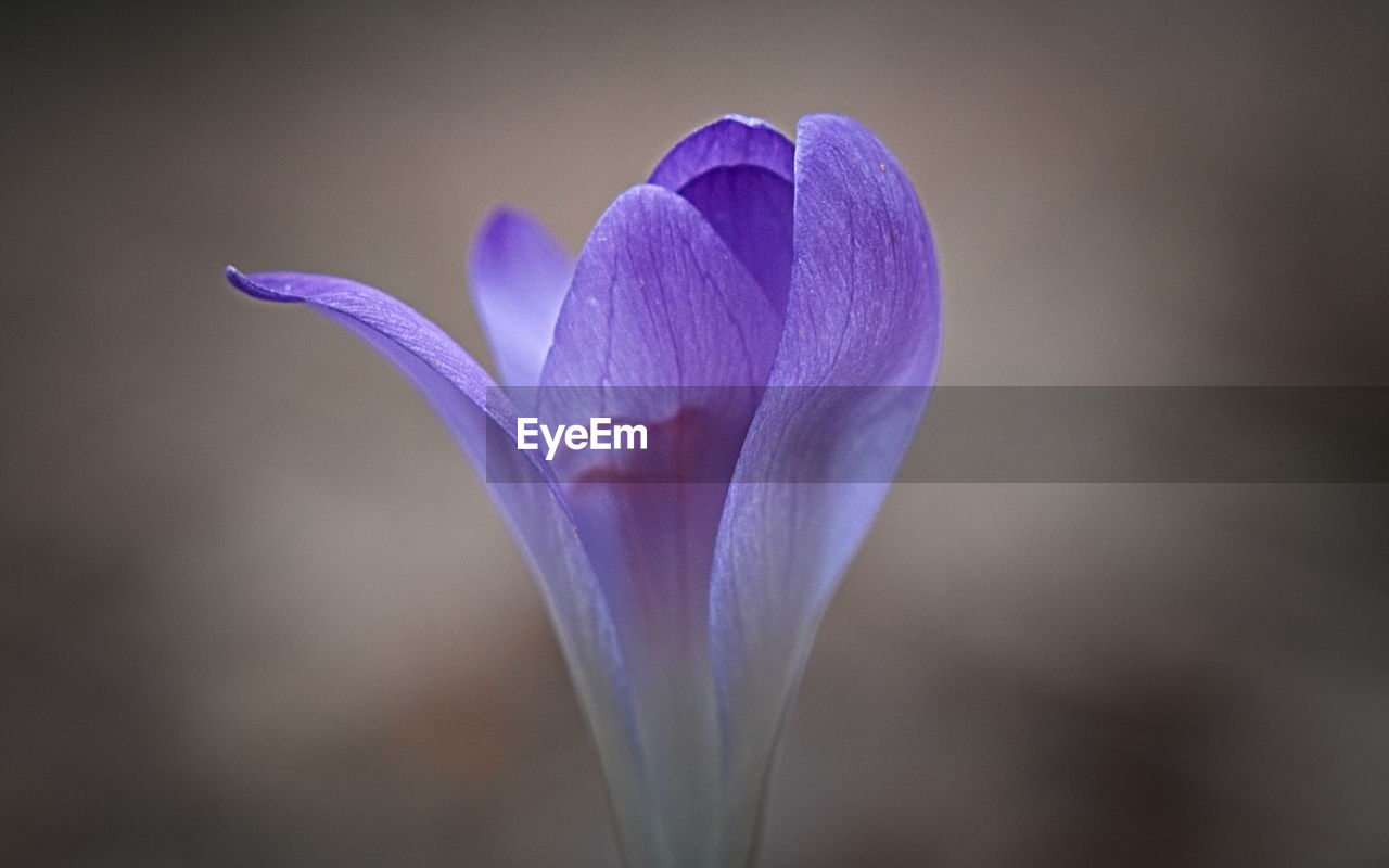 flower, flowering plant, fragility, vulnerability, plant, beauty in nature, freshness, purple, close-up, petal, growth, inflorescence, flower head, nature, no people, focus on foreground, crocus, iris, outdoors, iris - plant
